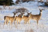 Fototapety White Tail Deer Family