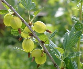 Ein Stachelbeestrauch mit reifen Fruechten