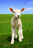 Fototapeta owca - ciekawość - Zwierzę Hodowlane