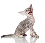 funny devon rex kitten meowing poster