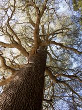 Drzewo cedrowe