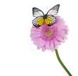 Rosa Gerbera mit Schmetterling