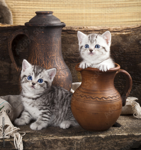 British kitten on retro background