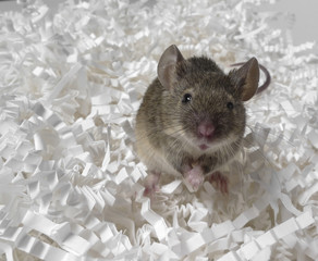 mouse destroy some documents and letters