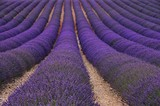 Fototapety Lavendelfeld - lavender field 79