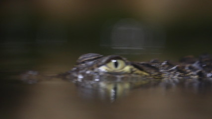 Small crocodile swims in the water