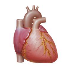 Menschliches Herz mit Koronararterien