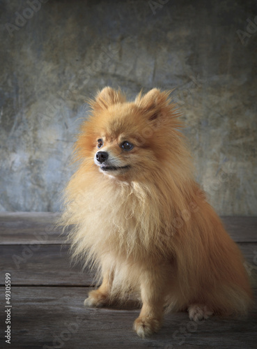 face of pomeranian dog