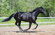 Black stallion of Russian riding breed in motion