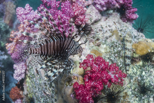 Common lionfish at Lipe island