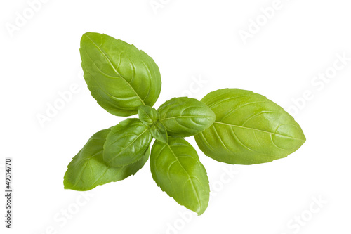 Fresh basil sprig isolated on white