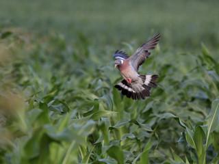 Wood pigeon flight