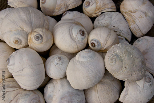 Group of Moon Snail Shells