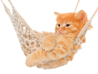 Cute red-haired kitten in hammock