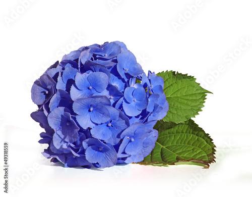 Foto op Plexiglas Hydrangea hortensia bleu