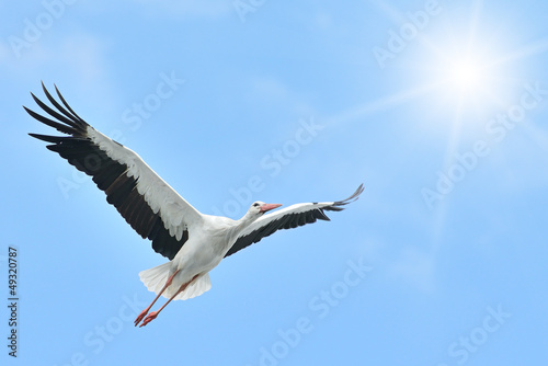 Flying White Stork sunlit