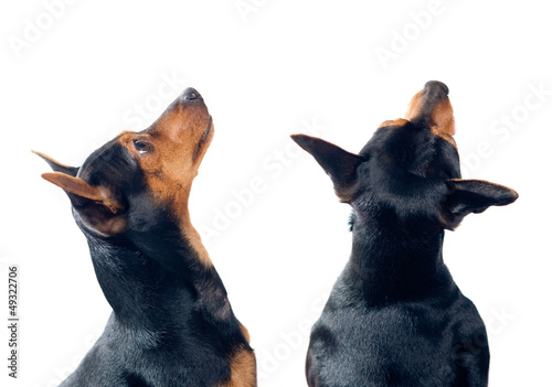 Pinscher dogs looking up