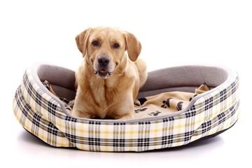 Hund Retriever im Hundebett