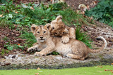 two lion cubs playing