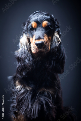 Portrait of a purebred english cocker in a studio