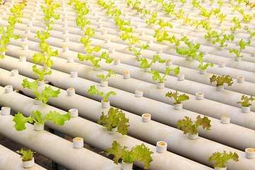 lettuce cultivation celery in a greenhouse, north china