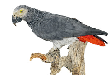 Graupapagei (Psittacus erithacus) freigestellt