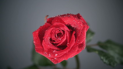 Raindrop flowing on a rose against a black background