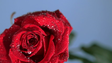 Raindrop dripping on a red rose