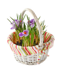Crocus flower in white basket isolated