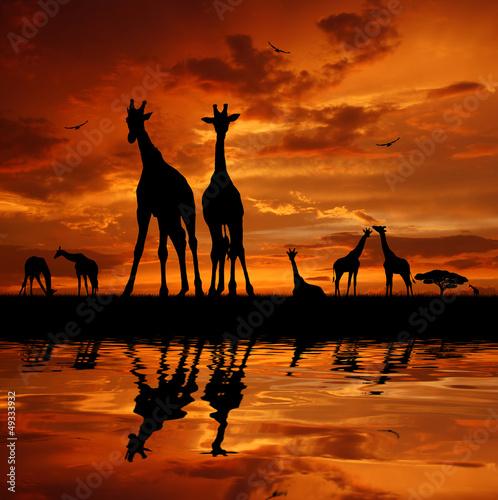 Panel Szklany herd of giraffes in the sunset