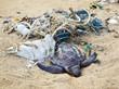 canvas print picture - Dead turtle in fishing nets