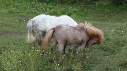 Two Ponies grazing - Nanos mountain, Slovenia