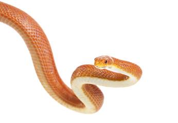 Texas rat snake (Elaphe obsoleta lindheimeri)