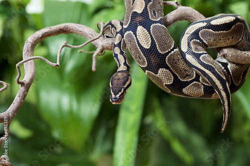 Royal Python snake on a wooden branch