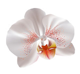 Fototapety White orchid flowers