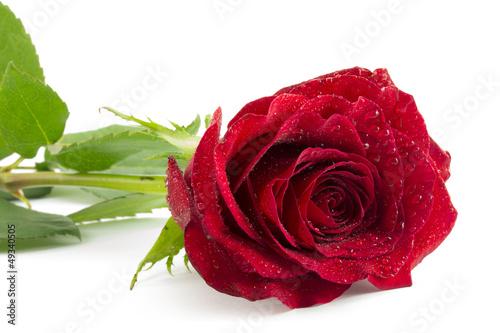 Fototapeten,rose,rot,blume,natur