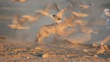 Black-backed Jackal hunting doves, Kalahari desert