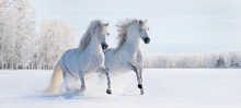 Deux poneys blancs au galop