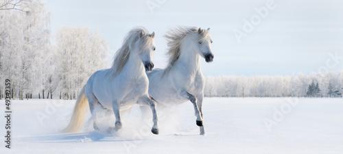 Leinwanddruck Bild Two galloping white ponies
