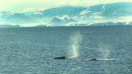 whale spouts and diving in antarctica