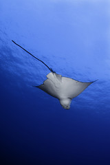 View looking up at Eagle Ray swimming under water