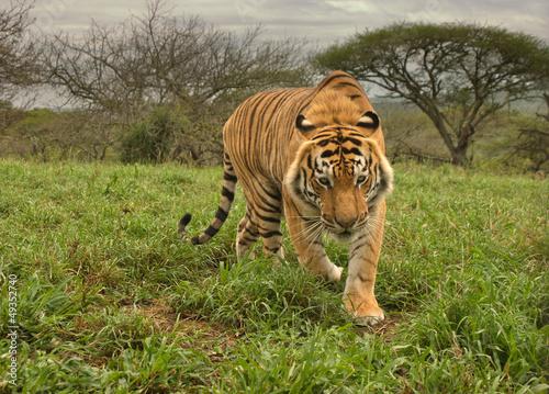 Fototapeten,tiger,katze,tier,wild