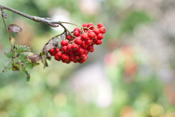 Rowan berries on a green background