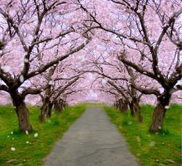 青空と桜のトンネル横長