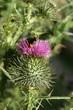 bumblebee pollinating thistle