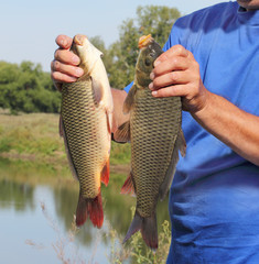 carp in the hand of fisherman