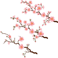 Cherry blossom branch in 3 diferent stages on white