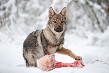 young male of czeckhoslovakian wolfdog
