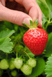 Perfekte reife Erdbeere pflücken