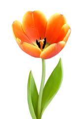 Perfekte, voll aufgeblühte Tulpe